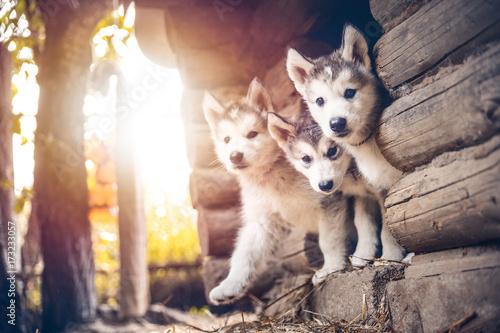Photo group of cute puppy alaskan malamute run on grass garden