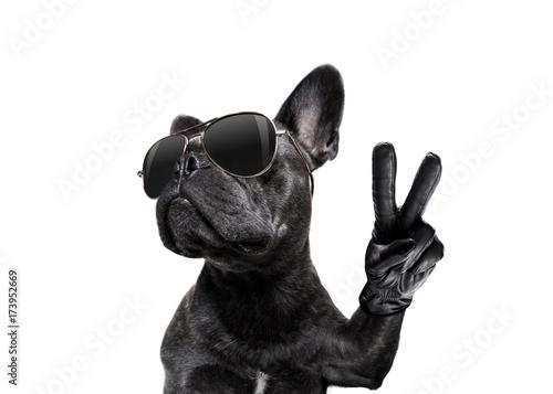 Fototapeta posing dog with sunglasses and peace fingers