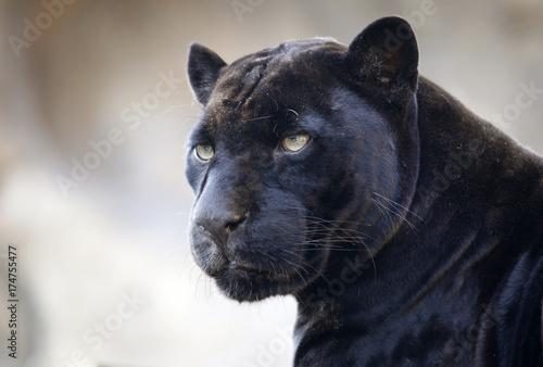 Obraz na plátně Panther. The Moscow zoo.