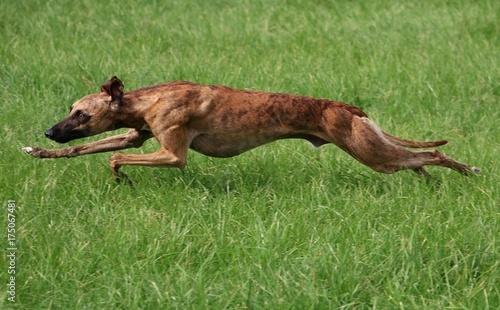 Valokuva schnell rennender whippet