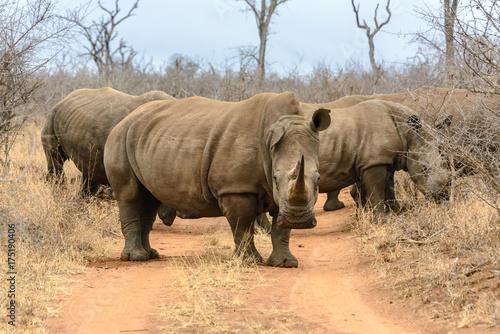 Fototapeta premium Nosorożec biały w Hlane Royal National Park w Suazi