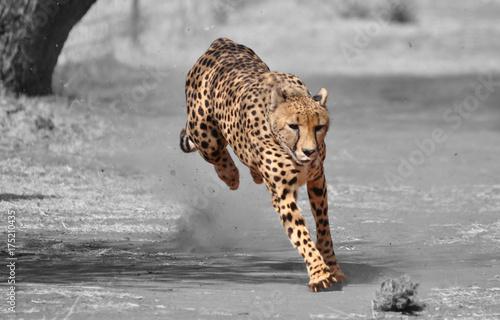 Fotografia Color isolation: exercising cheetah