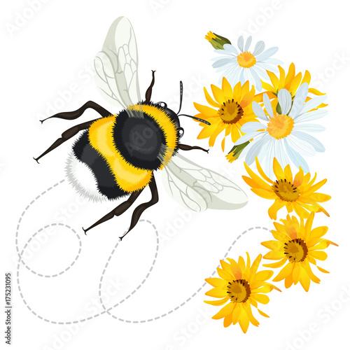 Fotografia Bumblebee closeup head, trace swirled line on background arnica chamomile