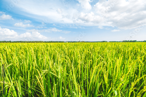 Canvas Print Beautiful Rice Field and Cloudy Blue Sky