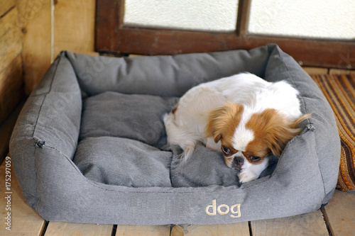 Photo Japanese little spaniels in their little house and comfort
