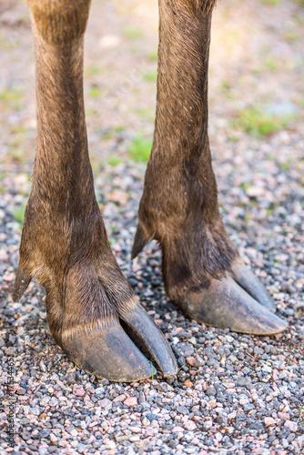 Front split hoofs of a moose standing on gravel road.