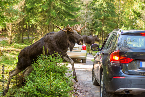 Moose bull climbing up on dirt road in front of car that hit the brakes to avoid accident. Cars registration numbers and make removed.