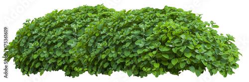 Fotografija Beautiful fresh green bush isolated on white