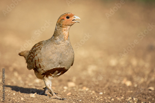Fototapeta Grey Partridge partridge in a beautiful light