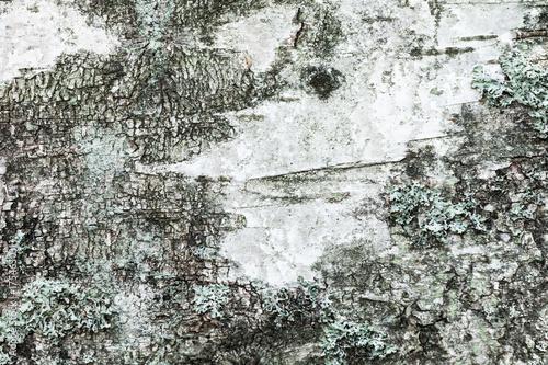 White old birch tree bark with lichen