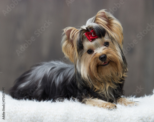 Canvas Print yorkshire terrier dog on a wooden background
