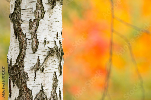 Autumn birch trees with colorful background