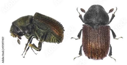 Bark beetle (Phloeosinus aubei) isolated on a white background