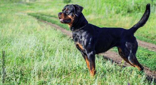 Fotografie, Obraz portrait of a dog of breed a rottweiler on walking