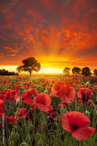Fototapeta premium Czerwone maki pola pod dramatycznym niebem w pobliżu słońca