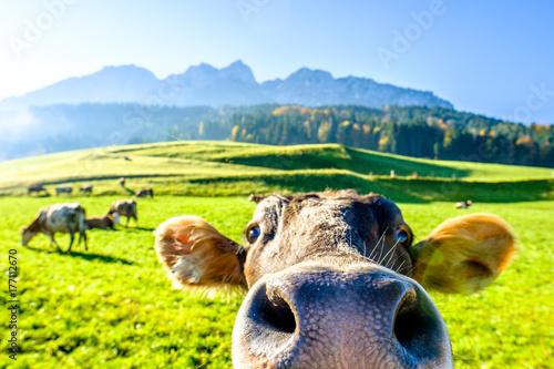 Photographie Vache drôle