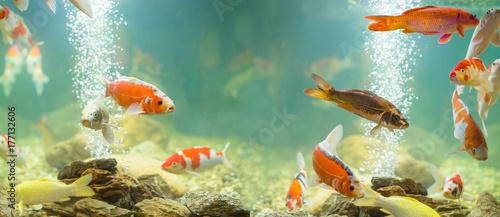 Foto Carp in the aquarium