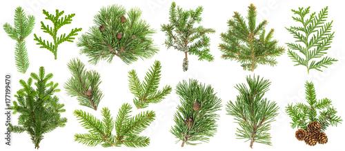 Fotografía Coniferous tree branches Spruce pine thuja fir cone set
