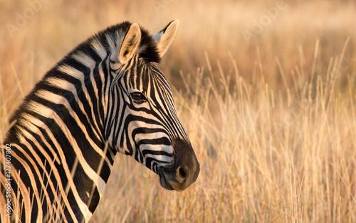 Fototapeta Zebra left Portrait