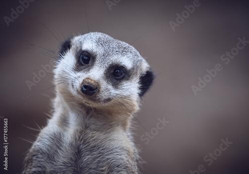 cute meerkats Fototapeta