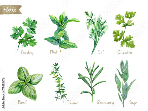 Fotografie, Tablou Culinary herbs collection watercolor illustration with clipping paths