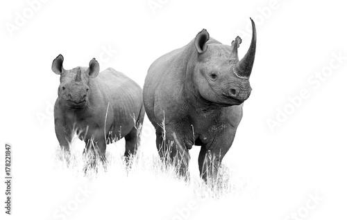 Fototapeta premium Artystyczne czarno-białe zdjęcie dzikiego nosorożca czarnego, Diceros bicornis. Matka i cielę, na białym tle na białym tle z dotykiem środowiska. Republika Południowej Afryki, KwaZulu Natal.