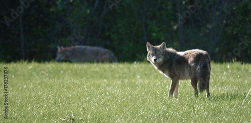 Obraz na płótnie Coyote in suburban setting