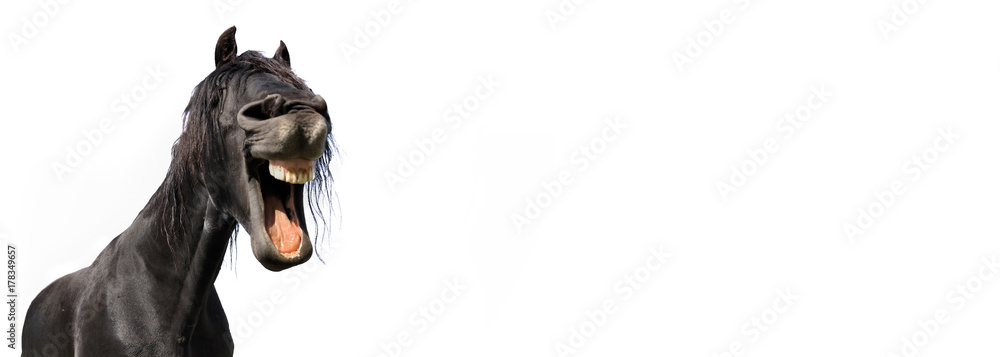 funny portrait of a black horse isolated on white background in panoramic size