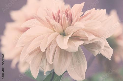 Piękny duży kwiat dalii, subtelne różowe płatki, ujęcie makro.