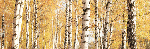 Canvas Print beautiful autumn panorama with yellow birches in birch grove