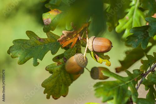 Acorns on the tree detail