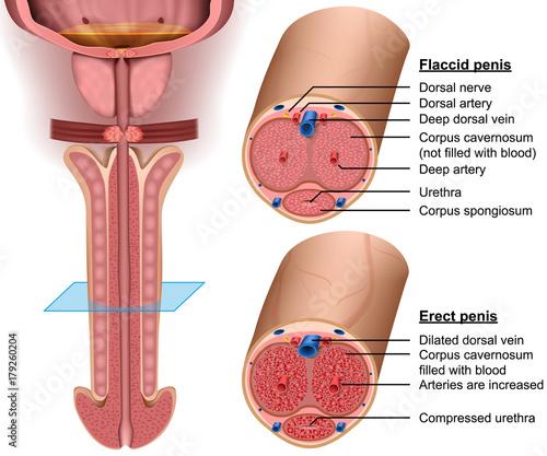 Photo Anatomy, cross section Penis, 3d vector illustration