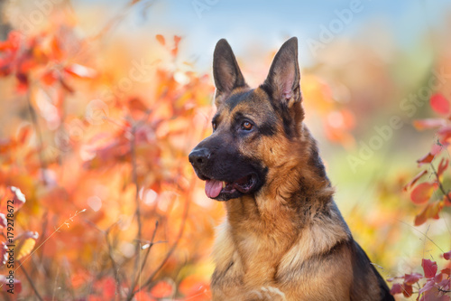 Canvas Print German shepherd dog close up portrait in fall park