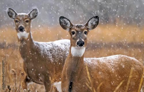 Photo Whitetail Doe - Snow