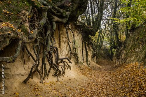 Fotografia Root gorge near Kazimierz Dolny, Poland