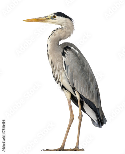 Fotografie, Tablou Grey Heron standing, Ardea Cinerea, 5 years old, isolated on whi