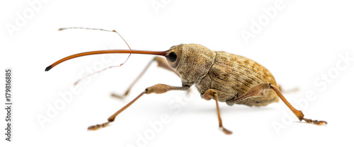 Foto Side view of an Acorn weevil, Curculio glandium, isolated on white