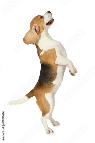 Beagle dog standing on hind legs Fototapet