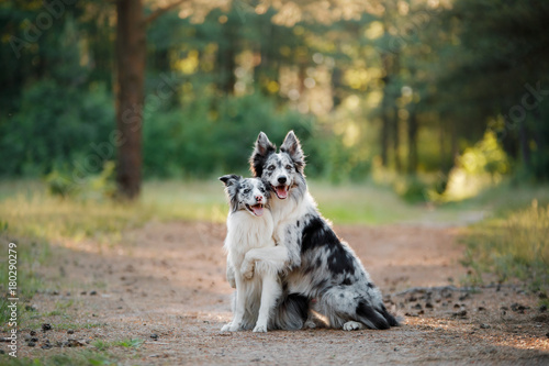Foto Two dogs border collie in the nature