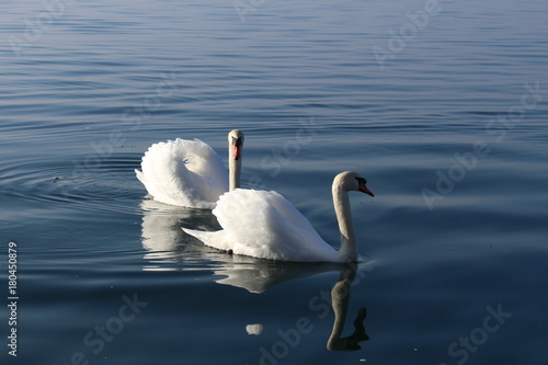 Two white swans are swimming on the Lake Constance (Bodensee) in Bregenz, Vorarlberg, Austria.