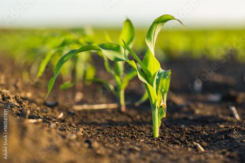 Foto Green corn maize field in early stage