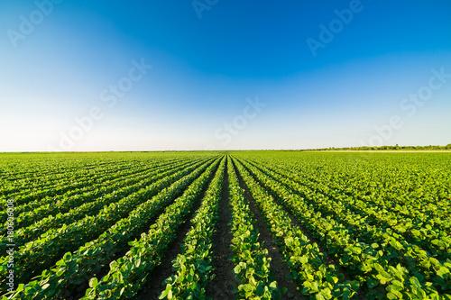 Green ripening soybean field, agricultural landscape Fototapeta