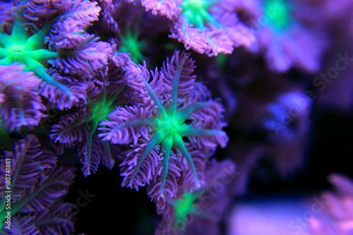 Fototapeta premium Clavularia rękawica polipy kolonia koralowa