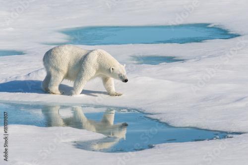 Fototapeta Polar bear with reflection