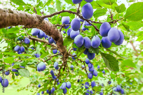 Plum tree branch on tree in orchard with lot of fruit on bright light