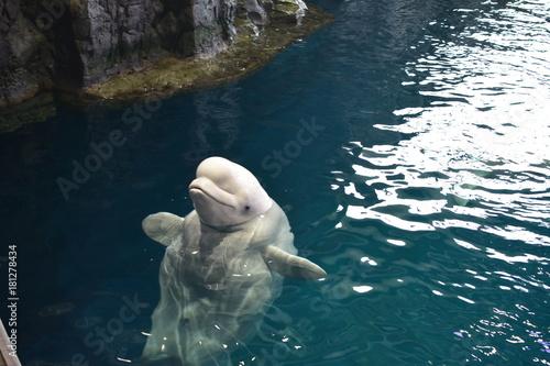 Beluga Whale Fototapete