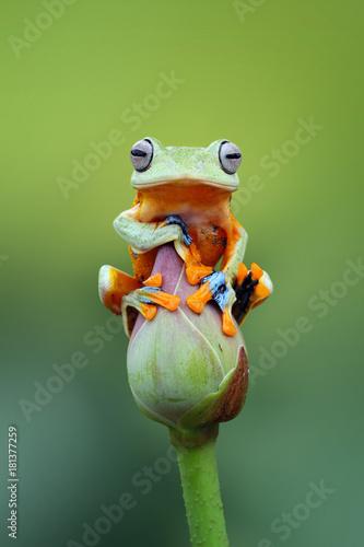 Tree frog, wallace, rhacophorus reinwardtii