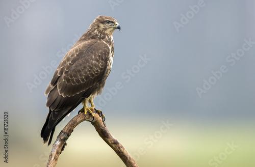 Fototapeta Common buzzard (Buteo buteo)