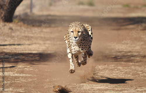 Fotografia Running cheetah, exercising with a lure, completely airborne.