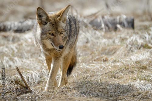 Canvas Print Coyote 1
